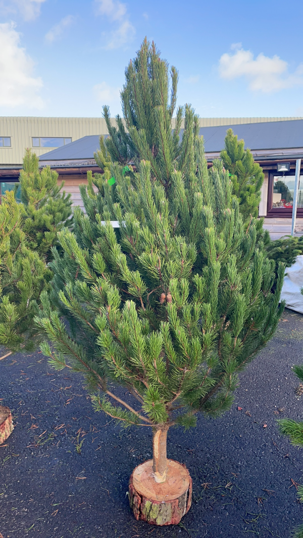 Pine 6/8ft Christmas Tree | Marl Pits Garden Centre
