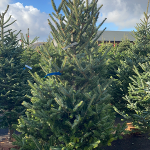 Fraiser Fir 6/7ft Christmas Tree | Marl Pits Garden Centre