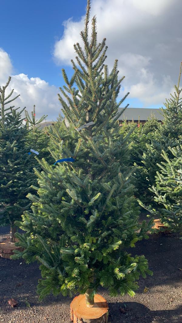 Fraiser Fir 6/7ft Christmas Tree | Marl Pits Garden Centre