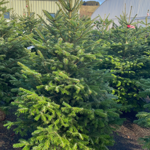 Nordman 6/7ft Christmas Tree | Marl Pits Garden Centre
