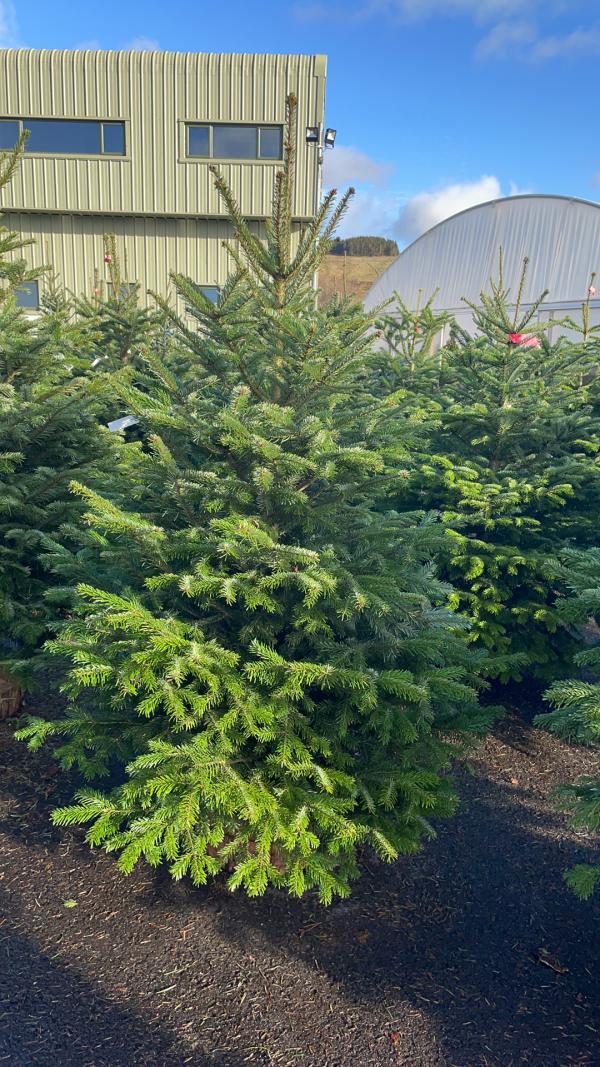 Nordman 6/7ft Christmas Tree | Marl Pits Garden Centre