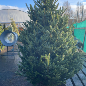 Fraiser Fir 8/9ft Christmas Tree | Marl Pits Garden Centre