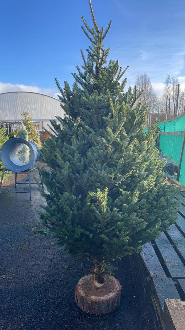 Fraiser Fir 8/9ft Christmas Tree | Marl Pits Garden Centre